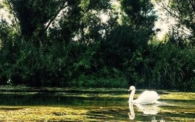 Wordless Wednesday: Swan Lake