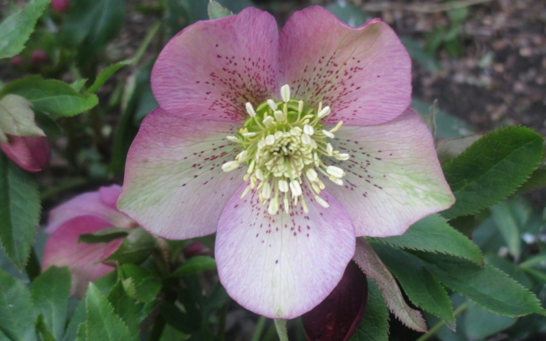 Wordless Wednesday: The Lenten rose