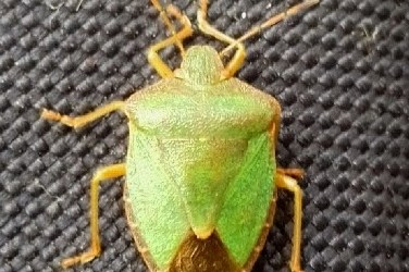 The Green Shield Bug