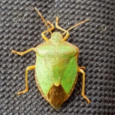 The Green Shield Bug