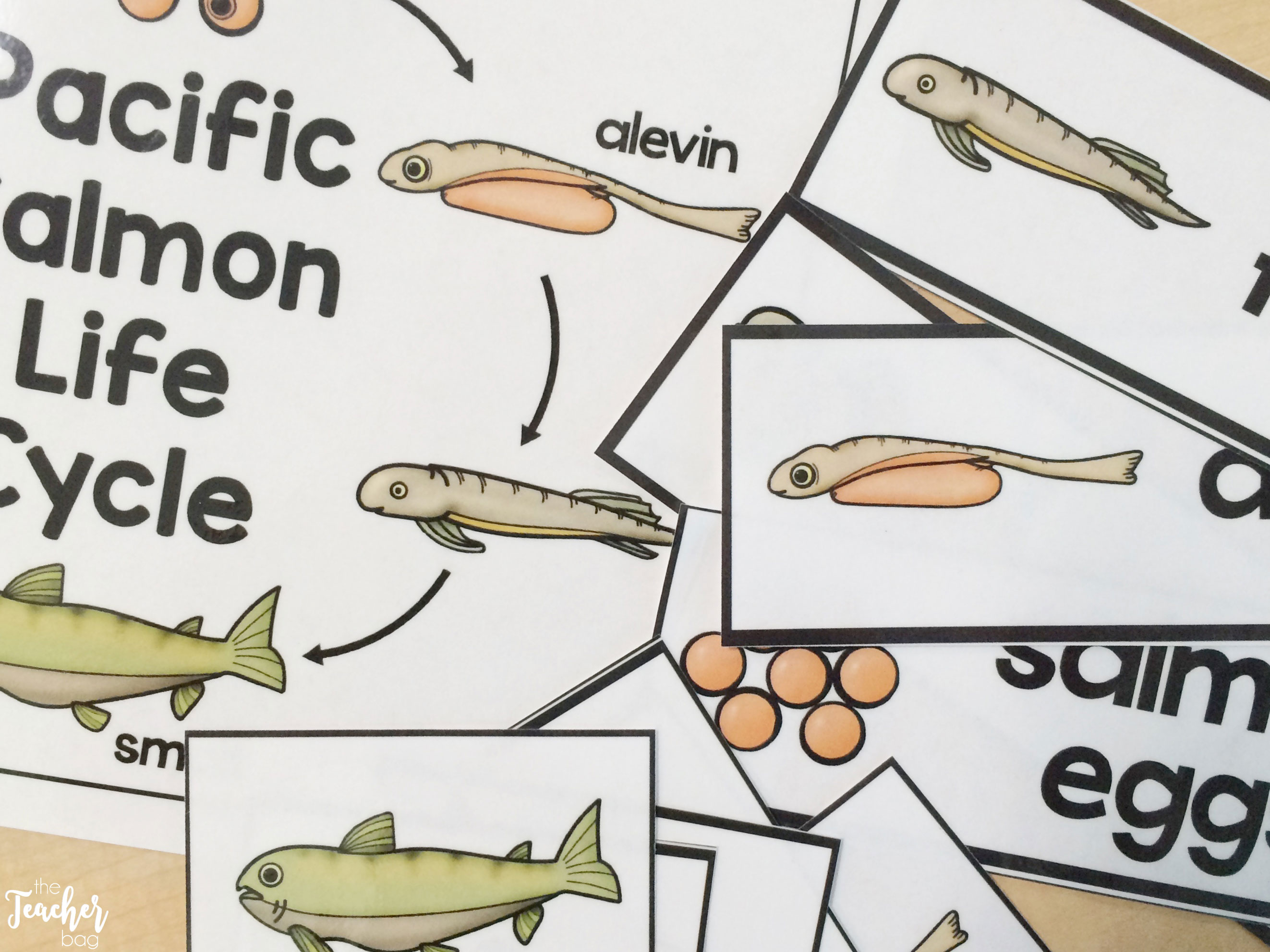 salmon life cycle cards