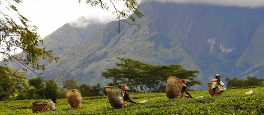 malawi-tea-picking-2