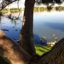 tree-and-lake-and-ducks-july-2016-1
