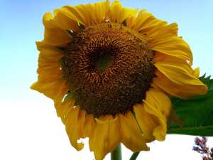 sunflower-8-10-16