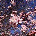 Solo Walk Vintage Lake Cherry Blossoms Shadows 3.29.18 #1