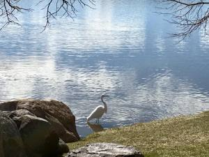 Solo Walk Vintage Lake Egret March 2018
