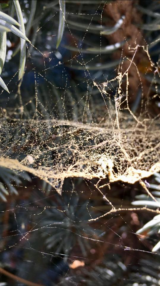 Pollen Dusted Spider Web 5.7.18