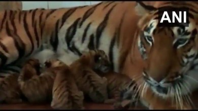Tigers Samrudhi and Siddharth become parents to 5 cubs at Aurangabad zoo – it s viral