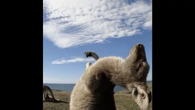 Video of kangaroo enjoying tummy tickle becomes 2nd top performing post of 2020 by Tourism Australia – it s viral