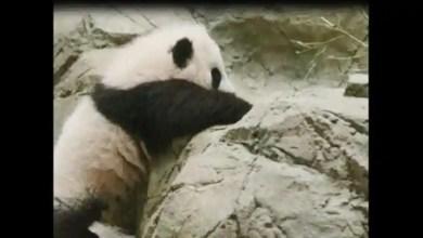 'Giant panda cub Xiao Qi Ji vs rock wall': Who will win? Watch cute video to find out – it s viral