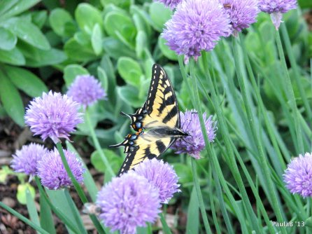 Tiger Swallowtail Butterfly w/Chives