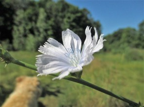 chicory and irish