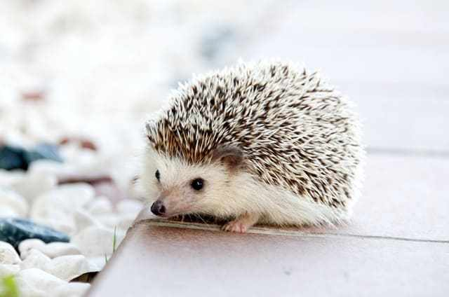 Look at this cute hedgehog! Warning: it farts.