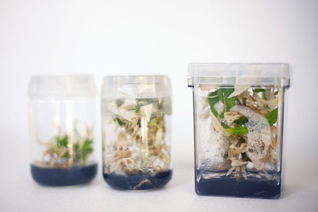 Cannabis Tissue Culture Jar 2