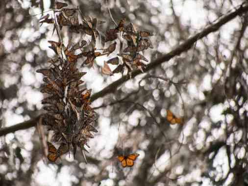 Monarch Butterflies (CA)