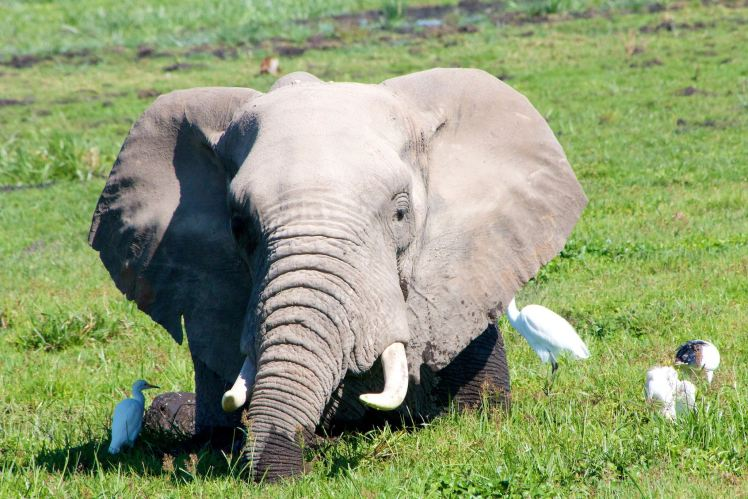 African Elephant with Egret Friends