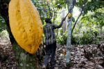 Child labour rising in Ghana and Ivory Coast's cocoa farms