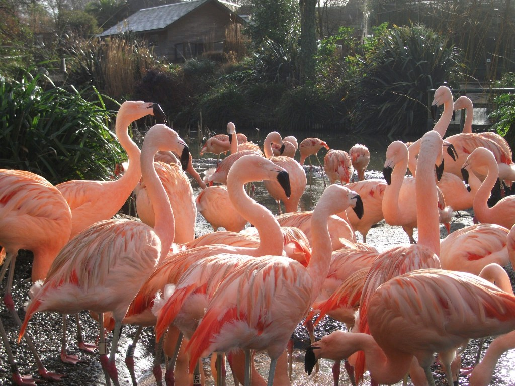 Flamingos at Durrell Wildlife Park (now Jersey Zoo)