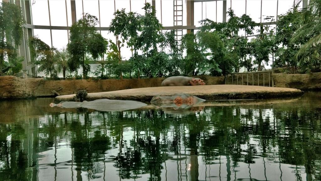 Copenhagen Zoo Hippos