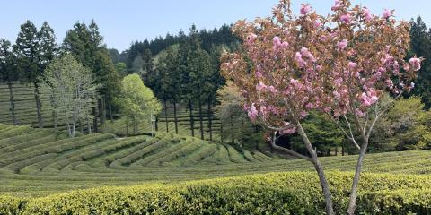 Rows of tea bushes with a pine tree forest in the background. A pink flower tree is on the right.