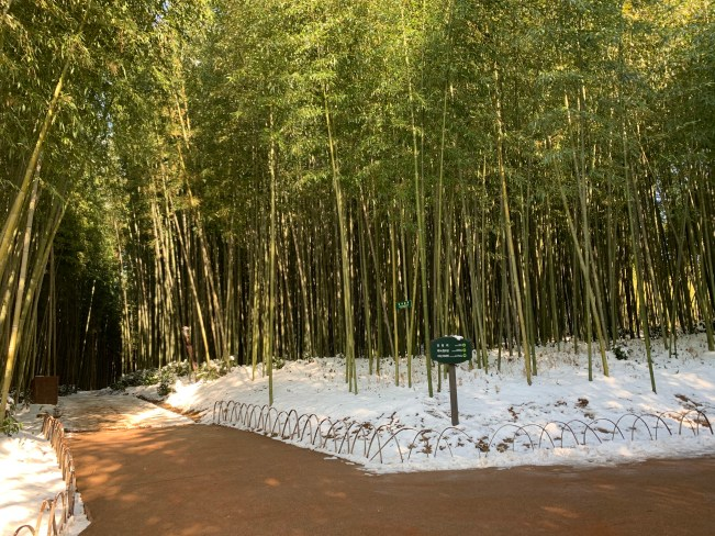 A bamboo forest covered in snow