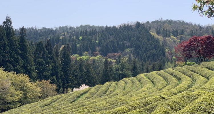 A field of green tea against a forest backdrop