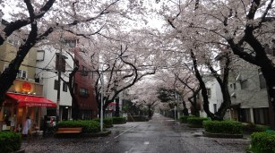 Rainy street with cherry blossoms in Yanaka, Tokyo.