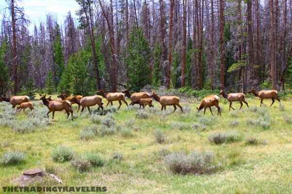 herd of elk RMNP