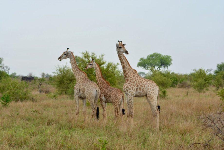 Giraffer i Kruger National Park