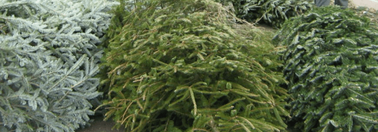 CHRISTMAS TREE RECYCLING IN PRAGUE