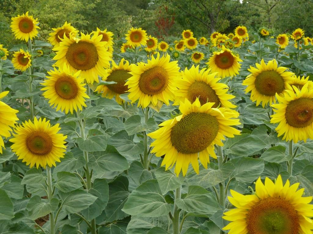 sunflower-field-france