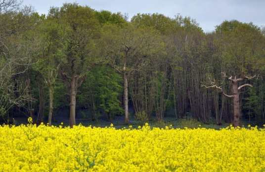 Rapeseed Field Sussex - May