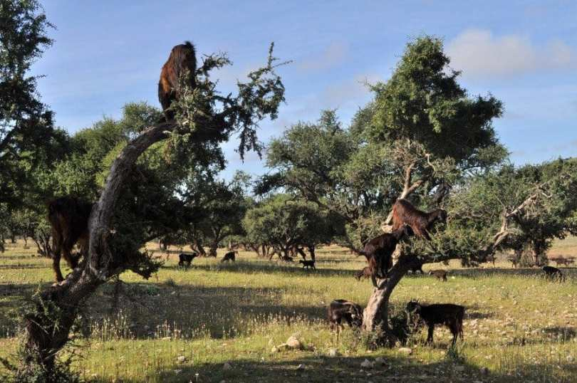 Argan Trees and goats