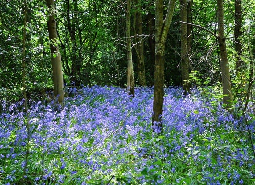 Best Bluebell walk in Sussex