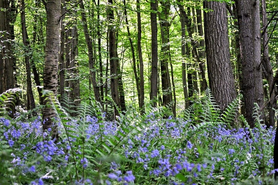 Bluebells in East Sussex