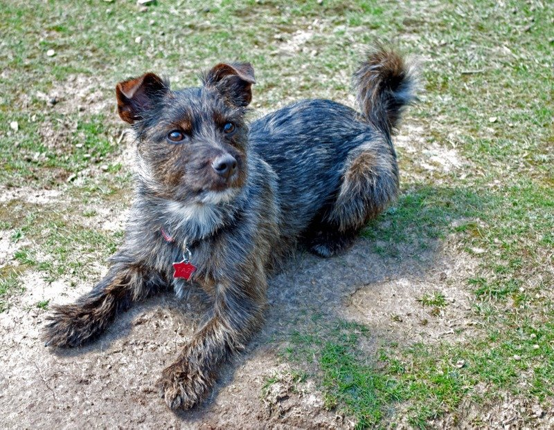 Taz Norfolk Terrier Cross