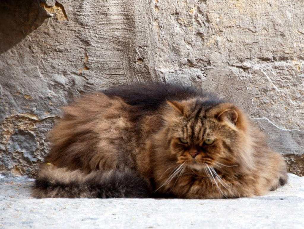 Gerry Fluffy Cat