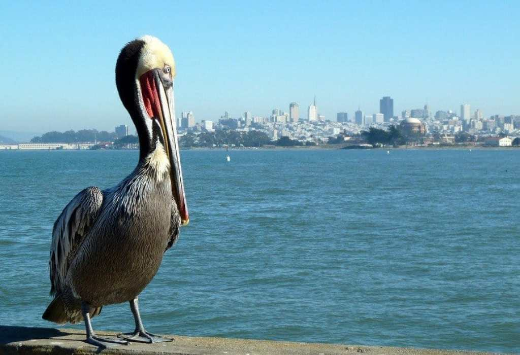San Francisco City Skyline and pelican