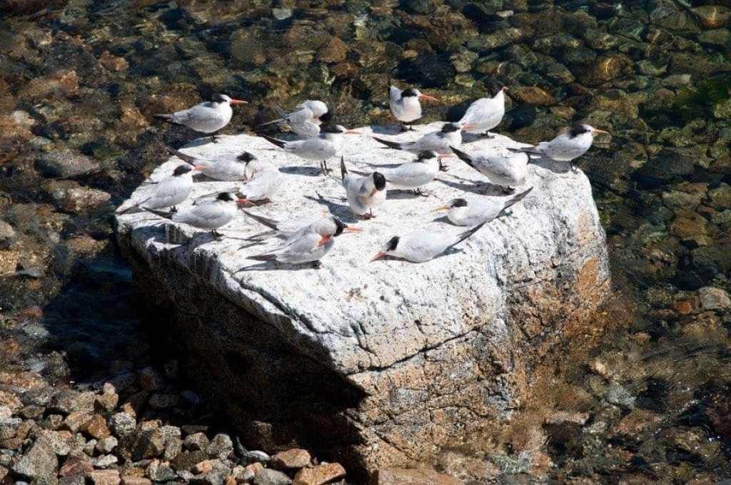 Elegant Terns, Monterey