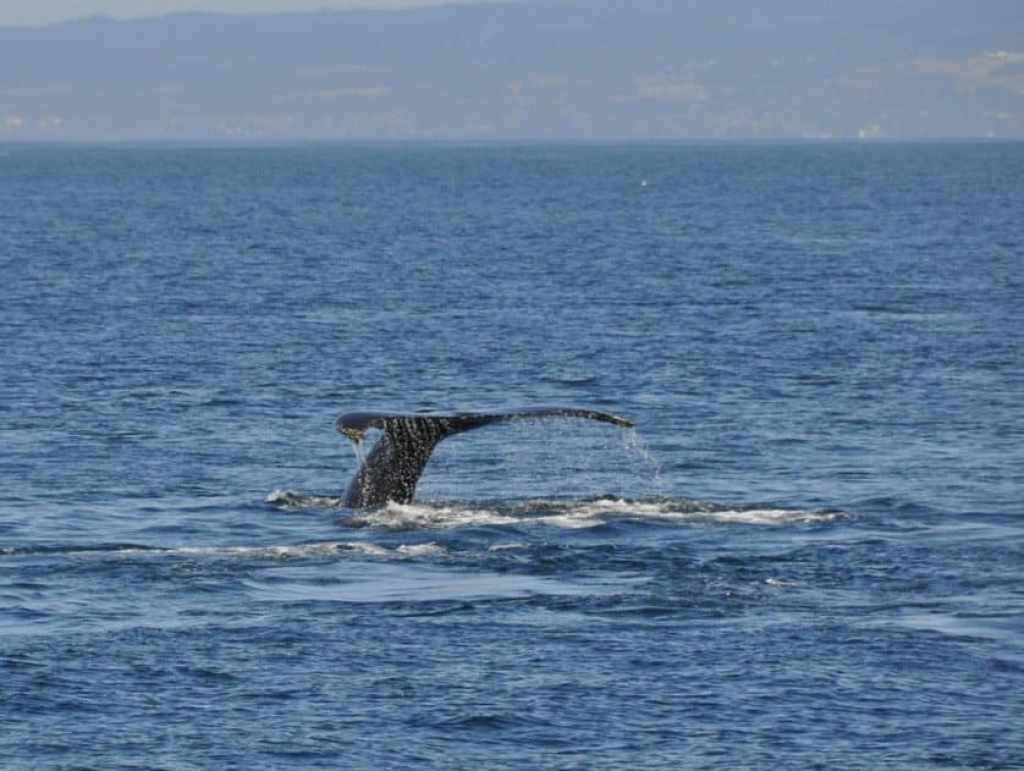 Humpback Whale Tail Fin