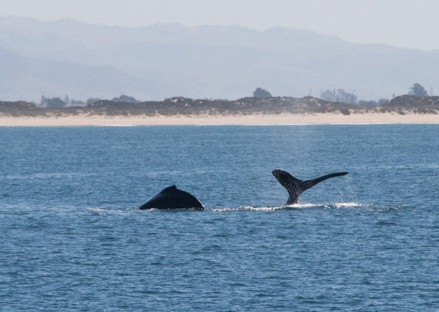 Humpback Whale tail and fin