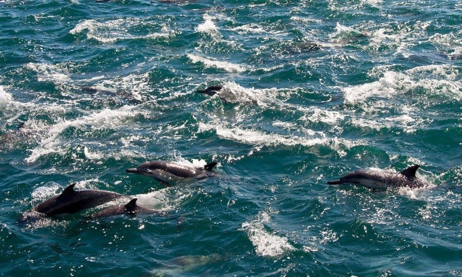 Long Beaked Dolphins