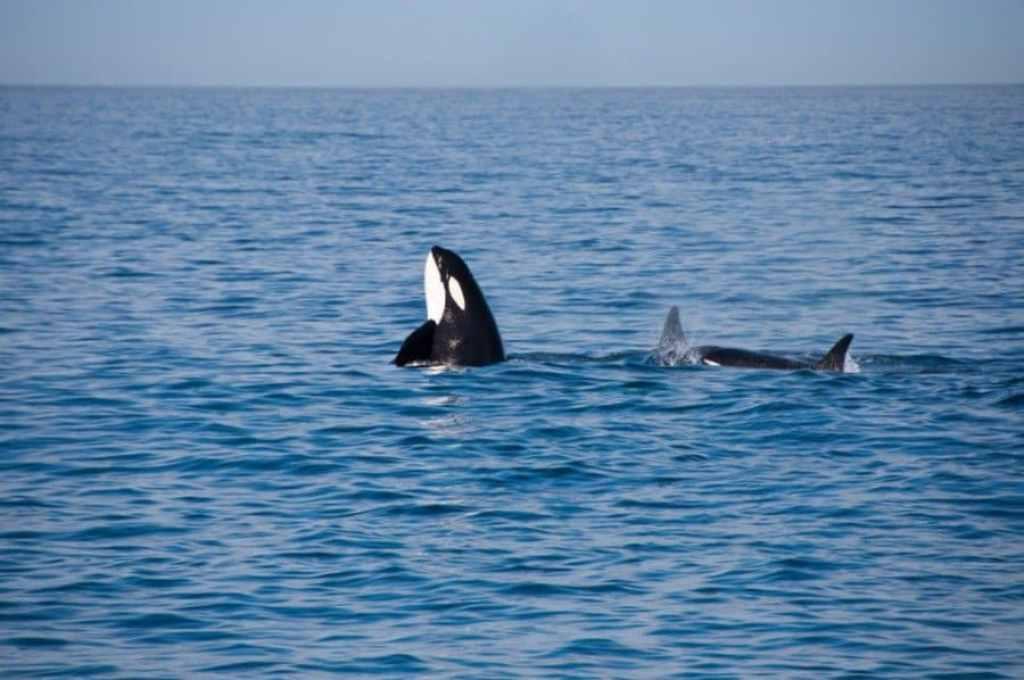 Spy-hopping Orca