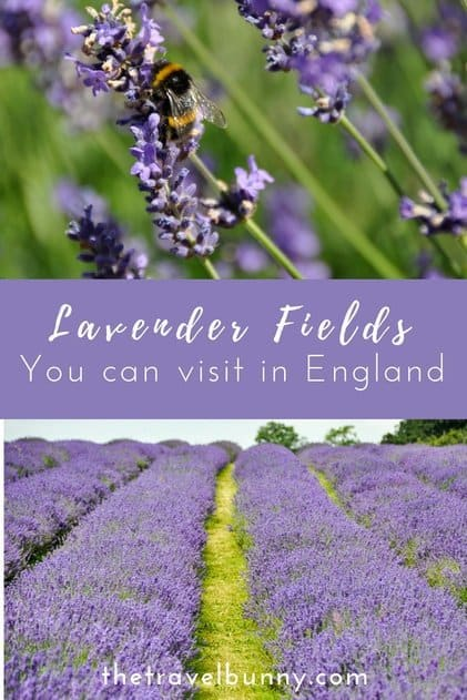 A list of English Lavender Farms open to the public and info on how to visit #lavenderfield #UK