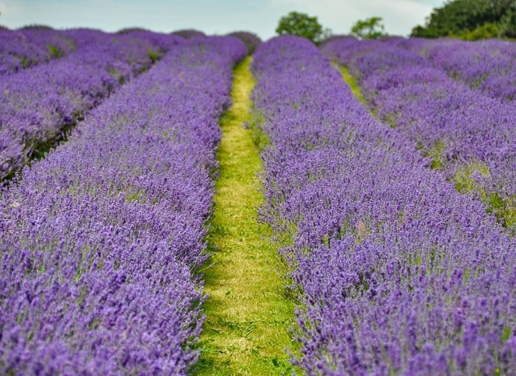 lavender-rows-field