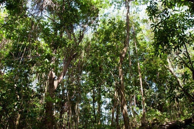 st-kitts-rainforest