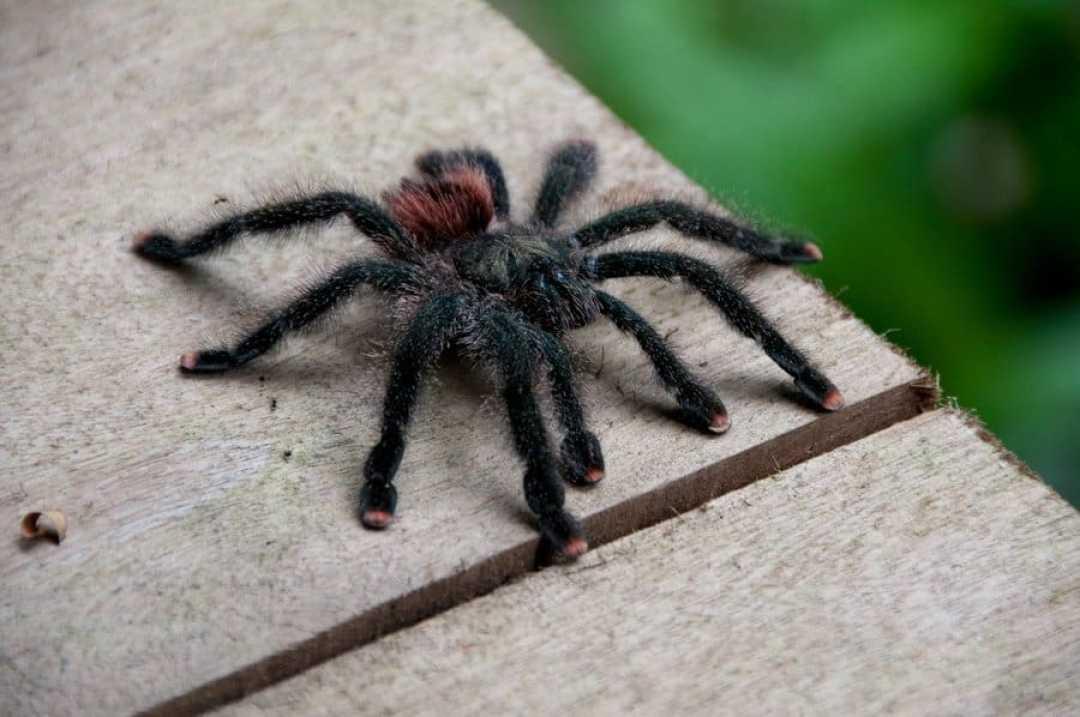 red-toed-tarantula