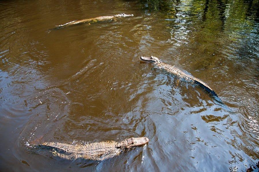 Alligators in New Orleans Swamp