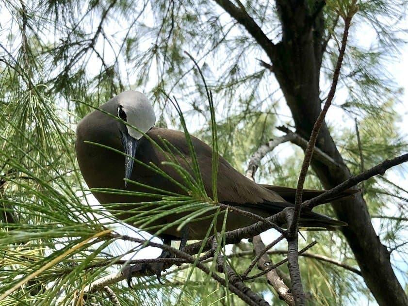 Noddy Bird Ile aux Cocos
