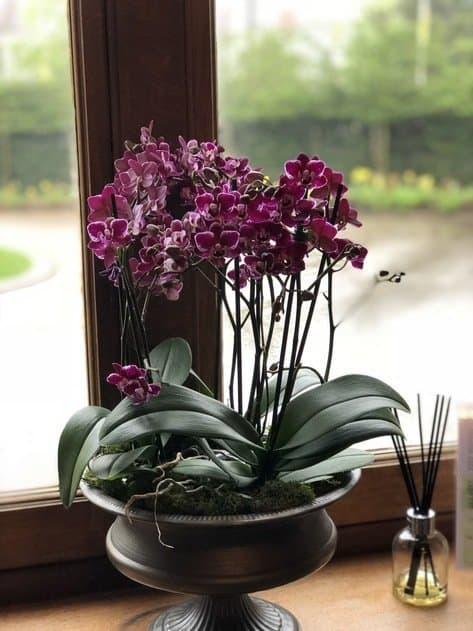 Purple Orchid pot plant